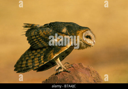 Barn owl perched on rock in an aggressive posture - Stock Photo