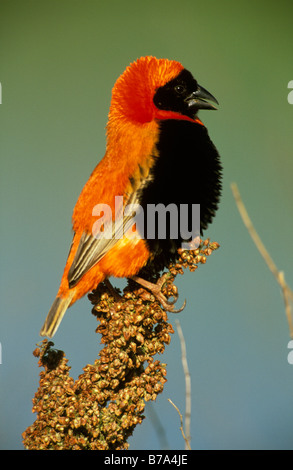 Red bishop perched on branch covered in seed heads - Stock Photo