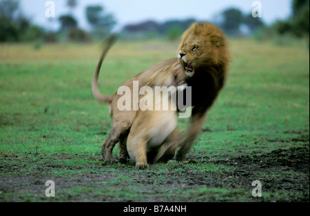 A lion pair showing aggression during mating - Stock Photo