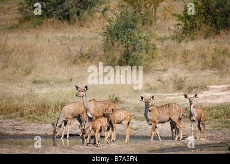 A herd of kudu with young drinking from a natural pan - Stock Photo