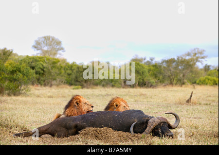 Two male lions feeding on a buffalo carcass - Stock Photo