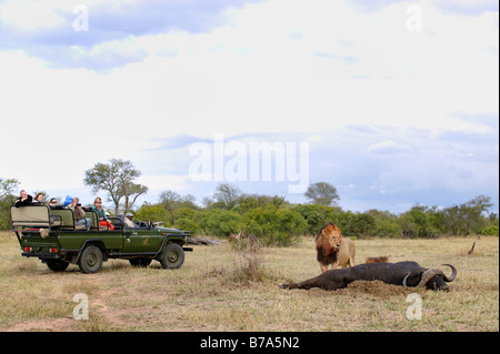 Tourists in an open game drive vehicle watch lions feeding on a buffalo kill - Stock Photo