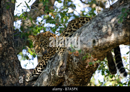 A young leopard in a Jackal berry tree - Stock Photo