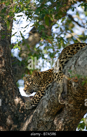A young leopard looking out intently from a shaded branch of a Jackal berry tree - Stock Photo