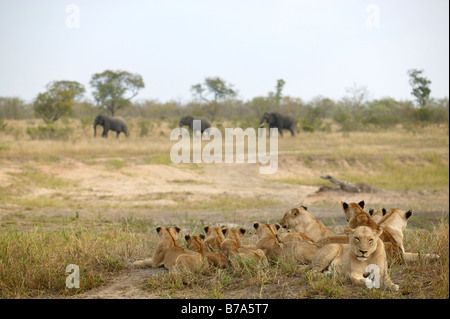 A large pride of lions lying on an open grassland watching three elephant bulls passing with indifference - Stock Photo