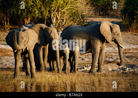 A herd of elephants congregating on the banks of the Chobe River in the late afternoon to drink - Stock Photo