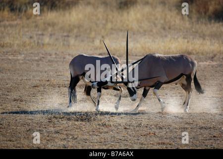 Two gemsbok (Oryx gazella) bulls fighting and kicking up dust - Stock Photo
