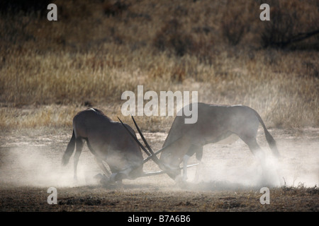 Two gemsbok (Oryx gazella) bulls fighting and kicking up dust - Stock Photo