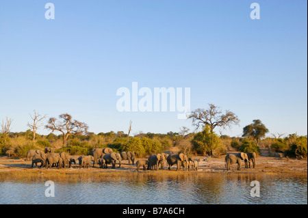 Scenic view of a herd of elephants congregating on the banks of the Chobe River in the late afternoon to drink - Stock Photo