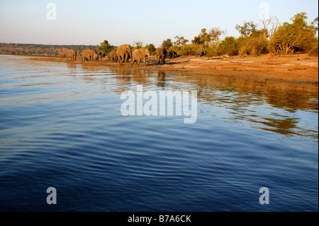 Scenic view of a herd of elephants on the banks of the Chobe River in the late afternoon - Stock Photo