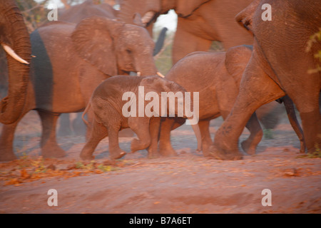 An elephant calf walking off with the herd in warm light - Stock Photo
