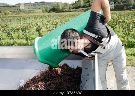 Harvester tipping grapes from a collecting bin during grape harvest in a Kaiserstuhl vineyard in Ihringen, Baden - Stock Photo