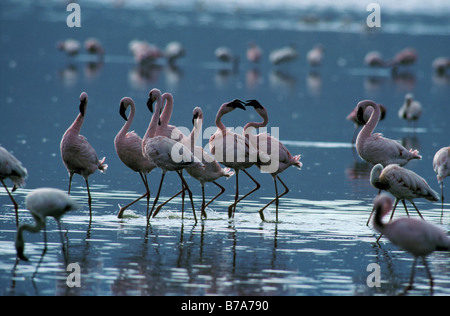 Lesser flamingos standing in water, one pair in courtship ritual. (Phoenicopterus minor) - Stock Photo