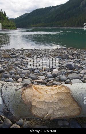 Beaver (Castoridae) bite marks on an aspen tree stump (Populus tremuloides), shore of upper Yukon River, Thirty - Stock Photo