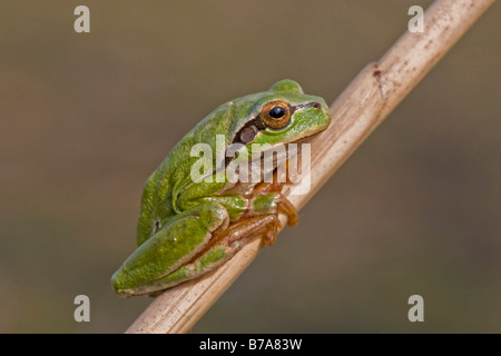 Common Tree Frog (Hyla arborea) - Stock Photo