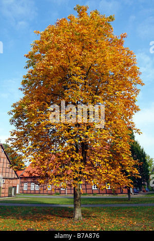 Common Horse Chestnut (Aesculus hippocastanum), foliage in autumn colours with slight damage caused by the Horse - Stock Photo