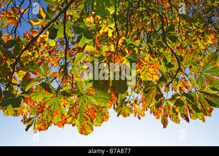 Common Horse Chestnut (Aesculus hippocastanum), foliage in autumn colours, in back light, view from below - Stock Photo