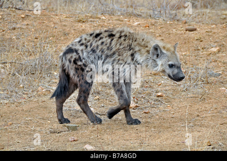 Spotted Hyena (Crocuta crocuta), young animal, Kruger National Park, South Africa, Africa - Stock Photo