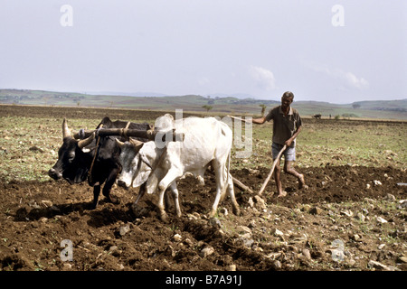 Ethiopian farmer ploughing a rocky field using two extremely thin and malnourished oxen. - Stock Photo