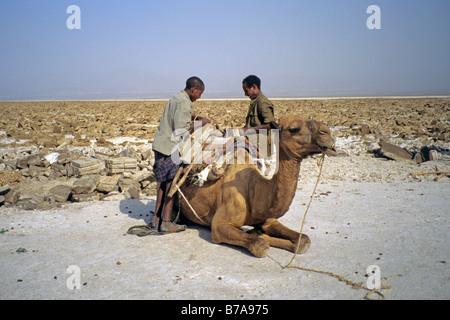 Afar men loading salt blocks onto a camels back - Stock Photo