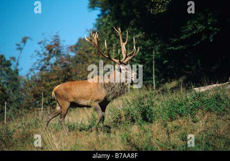 Red Deer (Cervus elaphus) during rutting season - Stock Photo
