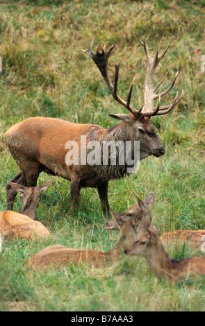 Red Deer (Cervus elaphus) during rutting - Stock Photo