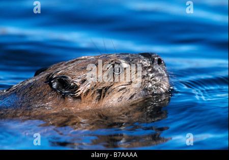 European beaver (Castor fiber), Alaska, North America - Stock Photo