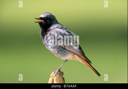 Black Redstart (Phoenicurus ochruros), male - Stock Photo