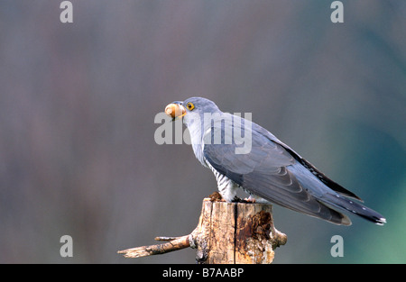 Common Cuckoo (Cuculus canorus) with acorn, Allgaeu, Germany, Europe - Stock Photo