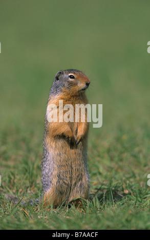 Columbian Ground Squirrel (Spermophilus columbianus), British Columbia, Canada, North America - Stock Photo