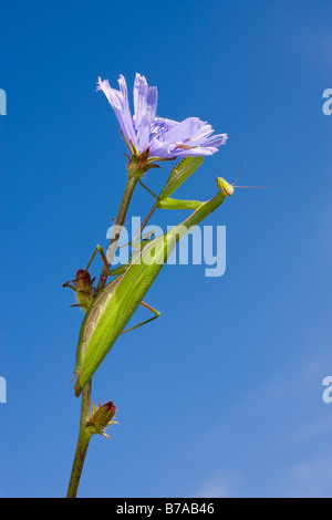 Religious Mantis, European mantid (Mantis religiosa) perched on stem of a Common Chicory, Blue Sailors, (Cichorium - Stock Photo
