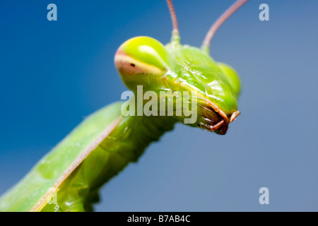Religious Mantis, European mantid (Mantis religiosa), portrait - Stock Photo