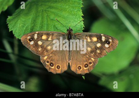 Speckled Wood butterfly (Pararge aegeria) sunbathing - Stock Photo