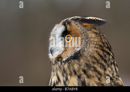 Long-eared Owl (Asio otus), portrait - Stock Photo