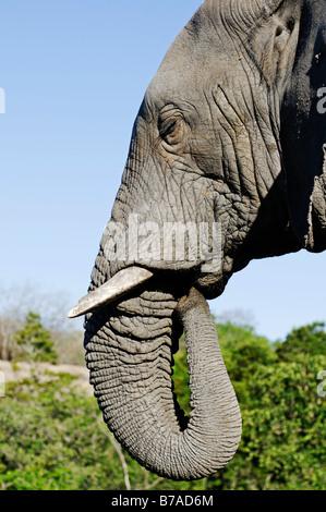 Elephant (Elephantidae), portrait, South Africa, Africa - Stock Photo