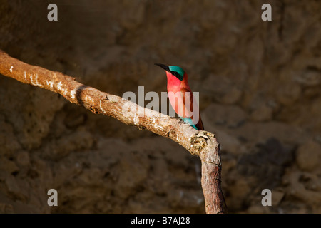 Southern Carmine Bee-eater Perched in the Okavango Panhandle, Botswana - Stock Photo