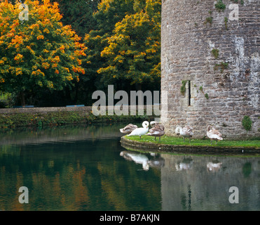 Swans beside the Bishops Palace garden moat in the City of Wells Somerset England United Kingdom - Stock Photo