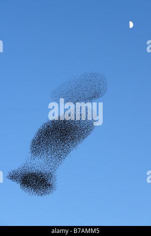 Flock of European Starlings, Common Starlings (Sturnus vulgaris) - Stock Photo