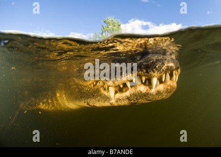 Wild unrestrained American Alligator Alligator mississippiensis in the Big Cypress National Preserve in the Florida - Stock Photo