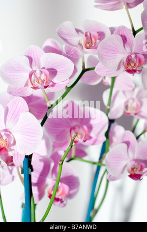 Purple orchid flower close up - Stock Photo