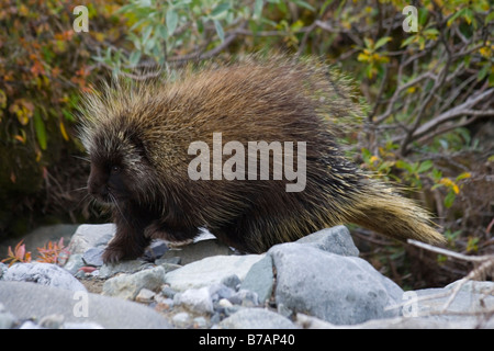 North American Porcupine (Erethizon dorsatum), in a creek bed, Canadian Porcupine, Common Porcupine, Donjek Route, - Stock Photo