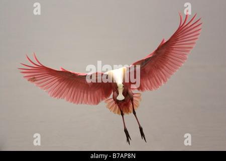 Roseate Spoonbill (Platalea ajaja) - Stock Photo
