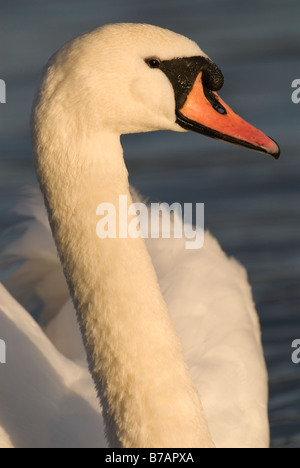Mute swan Cygnus olor portrait Strathclyde Scotland January - Stock Photo