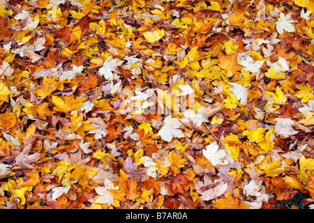 Autumn leaves on the ground, forest floor, maple leaves (Acer spec.), autumn foliage, autumn colored leaves - Stock Photo
