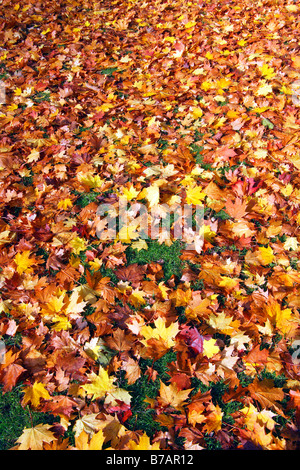 Colourful autumn leaves on a lawn, maple leaves (Acer spec.), autumnal fall, leaves in autumnal colours - Stock Photo