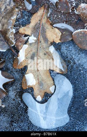 Oak Leaf Frozen in Pond Ice. - Stock Photo
