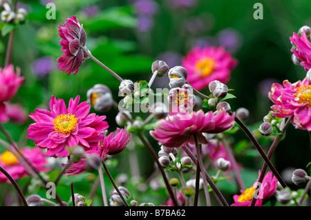 Anemone hupehensis var japonica Japanese Anemone pink flower bloom blossom perennial - Stock Photo