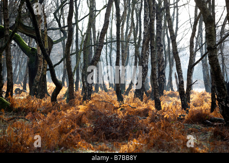Silver birch trees on Cannock Chase in Staffordshire, UK - Stock Photo