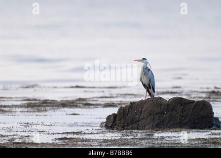 Grey heron Ardea cinerea standing on rock South Ayrshire March - Stock Photo