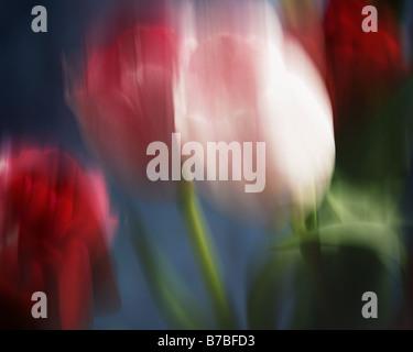 FINE ART: Tulip Arrangement (Photo Art) - Stock Photo
